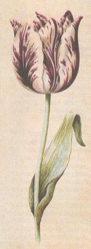 Tulipa_Viceroy_door_Anthony_Claesz._um_1640