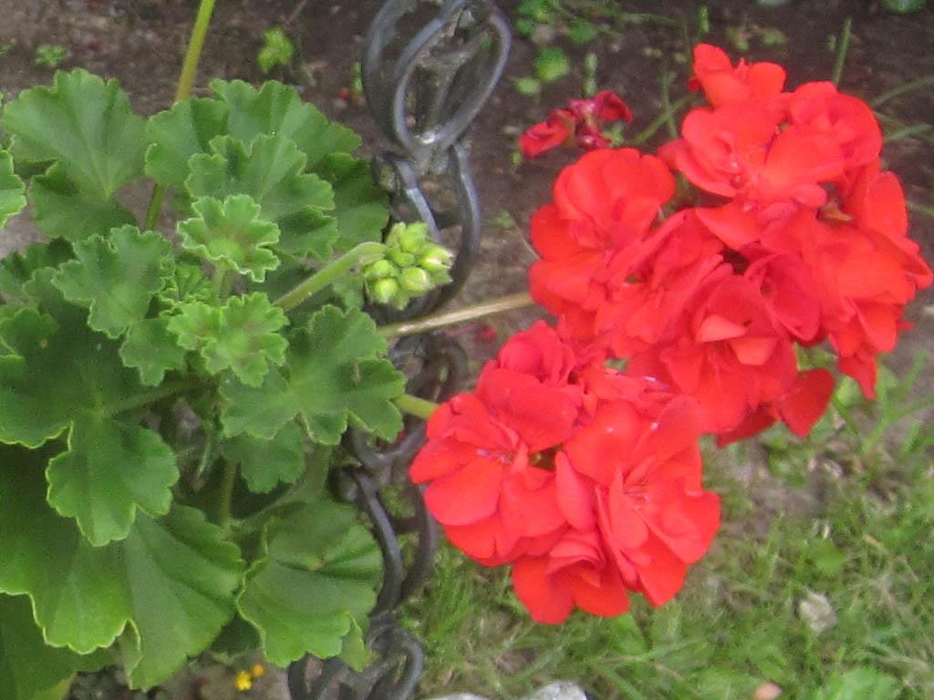 geranien pflanzen geranien pflanzen pelargonien. Black Bedroom Furniture Sets. Home Design Ideas