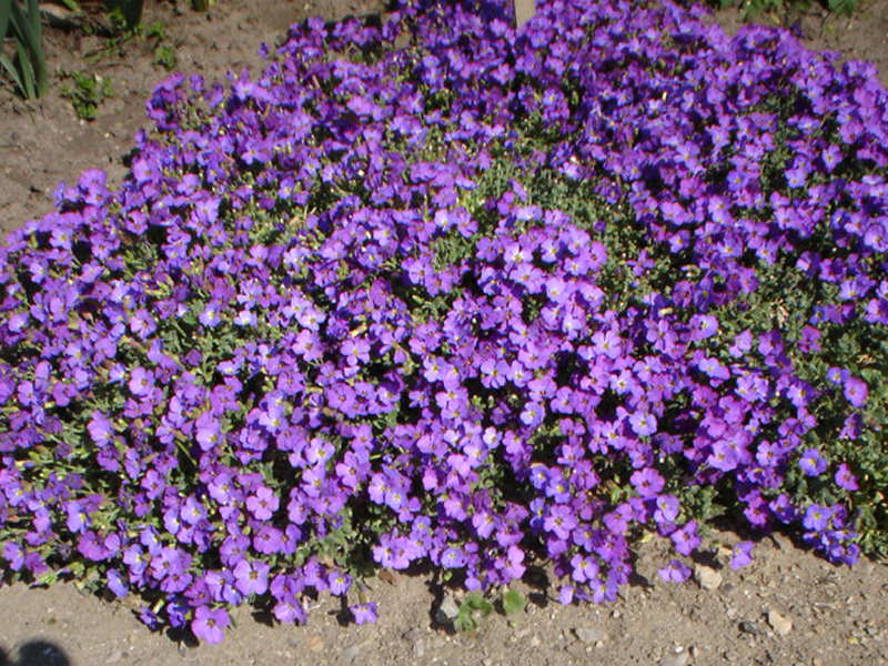 "Blaukissen ""Red Carpet"" (Aubrieta Hybride ""Red Carpet"")"